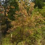 Mock Orange in autumn.