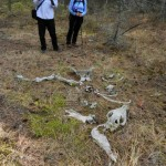 Horse skeleton in the reserve