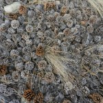 A drift of Ponderosa Pine cones.