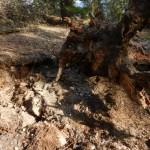 Uprooted Ponderosa Pine.