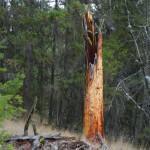 Lightning strike on Ponderosa Pine.