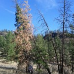 Pine beetle infected pine.