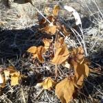 Arrow-leaved Balsamroot, (Balsamohrhiza sagittata)