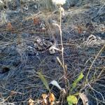 Columbia Goldenweed, (Pyrocomma carthamoides).