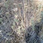 Narrow -leaved Brikellia, (Brikellia oblongifolia).