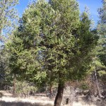 Pine infected with mistletoe.