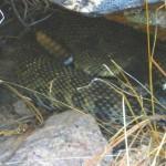 Rattlesnake hibernaculum.