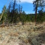 Reindeer moss ( lichen)