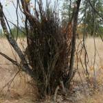 A Saskatoon bush.