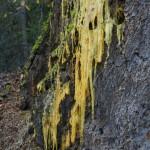 Sap from a mature Douglas fir.