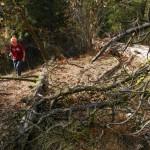 Ponderosa Pine deadfall in the Reserve.