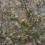White flowered invasive Knapweed.