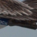 Detail of leg band R36 on Brown Pelican