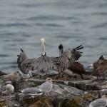 Wingspread of brown pelican