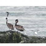 2 juvenile brown pelicans at Race Rocks.