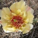 Opuntia fragilis