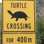 Haynes Lease turtle crossing : Photo by Rosemary Taylor