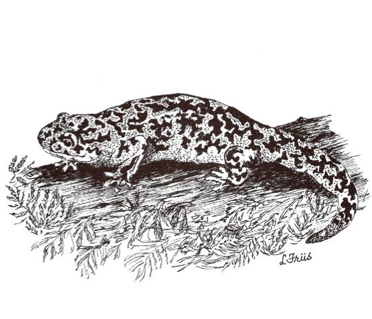 Pacific Giant Salamander Drawing