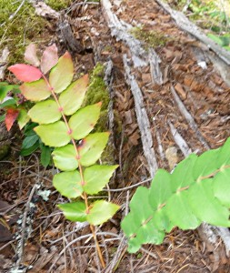 Mahonia spp.,Oregon-grape Photo by Garry Fletcher