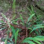 Blechnum spicant- deer fern