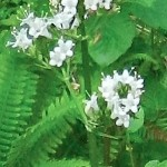 Cicuta douglasii-Douglas-water hemlock: Also very poisonous