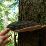 Bracket fungus --Fomitopsis pinicola