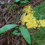 Slime Mold, possibly Fuligo septica