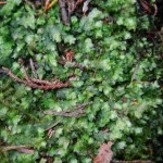 Possibly the liverwort, Plagiochila porelloides: