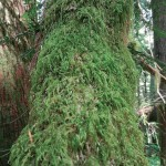 Yew trunk covered with moss, probably Isothecium stoloniferum