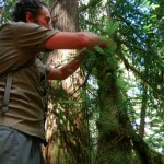 Ross tags another Pacific Western Yew