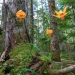 Lilium columbianum , Columbia Tiger Lily