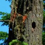 Flycatcher atop the wildlife tree