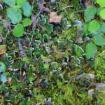 Foliose Lichen on ground