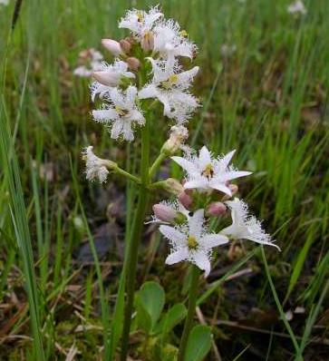 Meyanthes trifoliata,   (buck Bean) photo by  Martin Zahnd, Wikkipedia commons