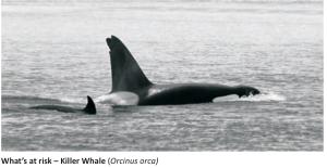 orca-at-stake