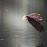 Bald Eagle Light