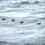Murrelets on a wave-roll