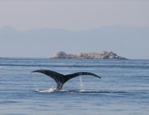 humpback1a