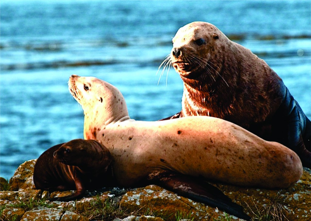 Steller Sea Lion family