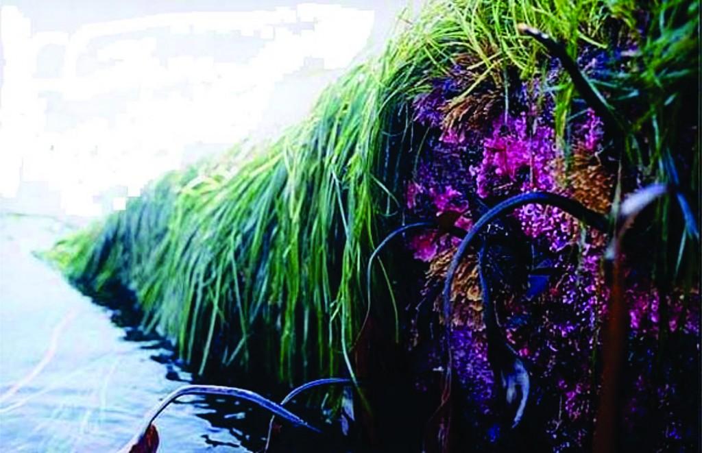 surf grass & hydrocorals