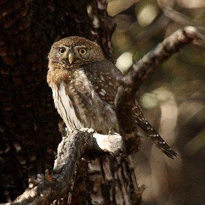 600px-mountain_pygmy_owl_glaucidium_gnoma_arizona