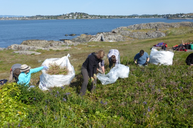 Matt Fairburn's crew removing invasive species from Trial Island ER
